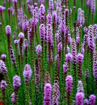 八月蛇鞭菊