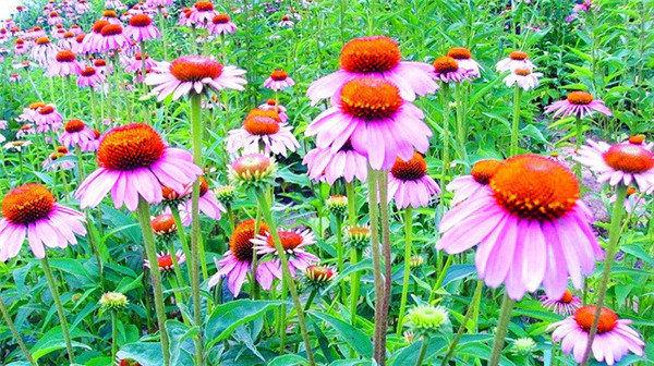 十月紫松果菊